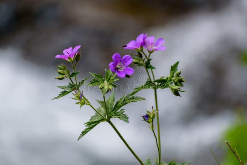 关闭一点可爱的Pensies花在庭院里有混杂的五颜六色的自然本底 免版税库存照片