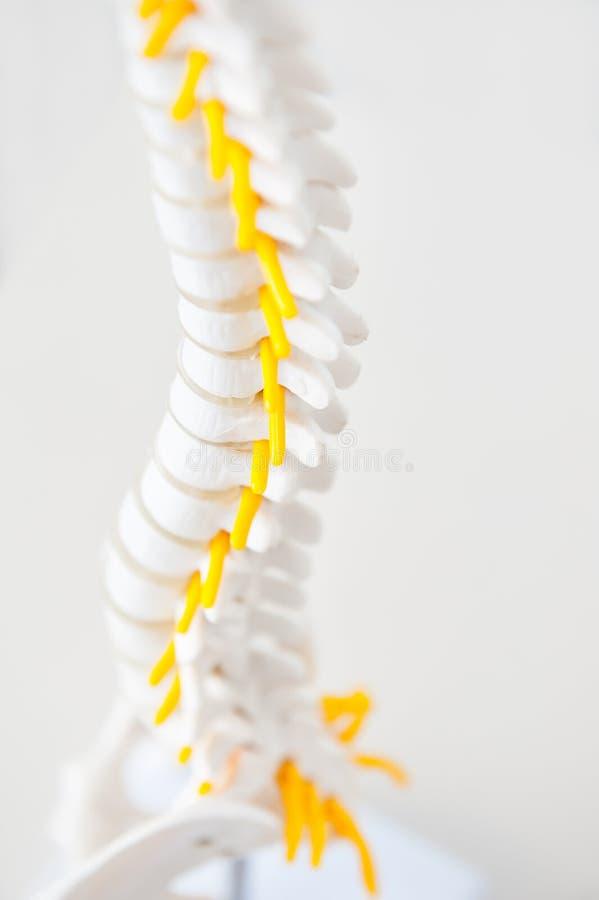 关闭一部分的与紧张的过程的人的脊椎模型在轻的背景 医疗,健康和身体关心概念 Selectiv 图库摄影
