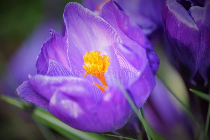 关闭与一个黄色/橙色中心的一朵紫色花 库存图片