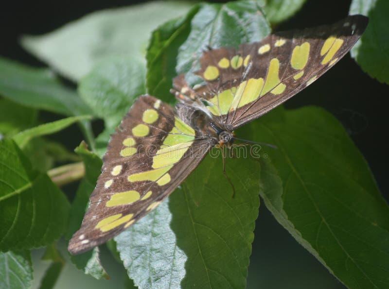 关闭与一只绿色和黑绿沸铜蝴蝶 免版税库存照片
