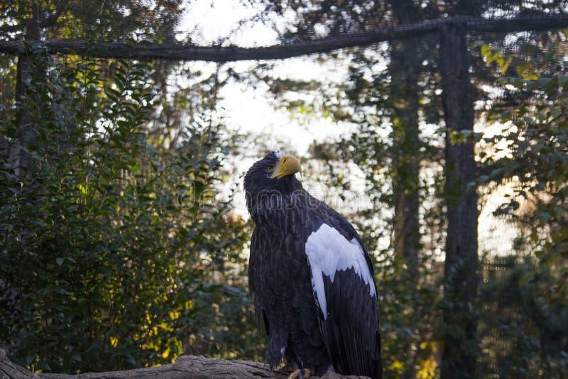 关闭与一种白色颜色的一只黑老鹰在他的和看在与的天空树的翼坐背景 图库摄影