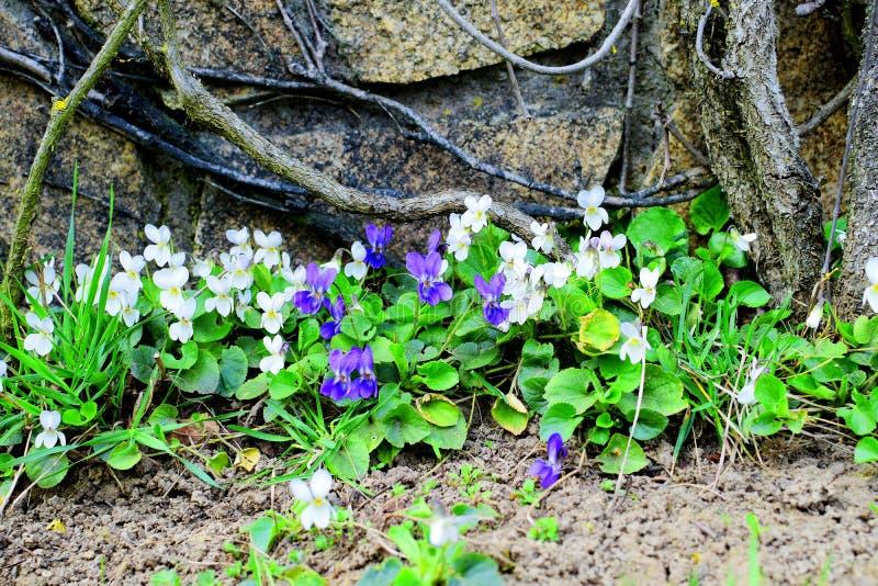关闭与中提琴odorata紫罗兰色花的豪华的开花的丛  免版税库存照片