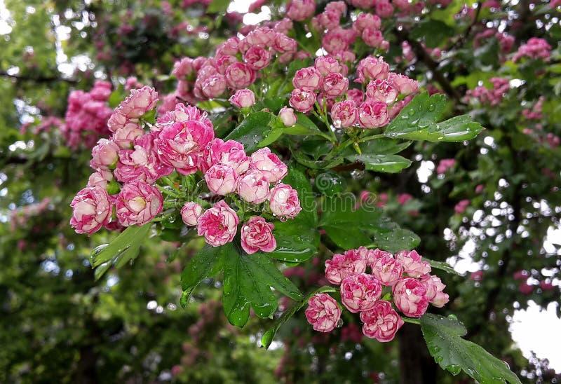 关闭与保罗的猩红色山楂树,山楂属Laevigata树美丽的开花的桃红色花的分支  免版税库存照片