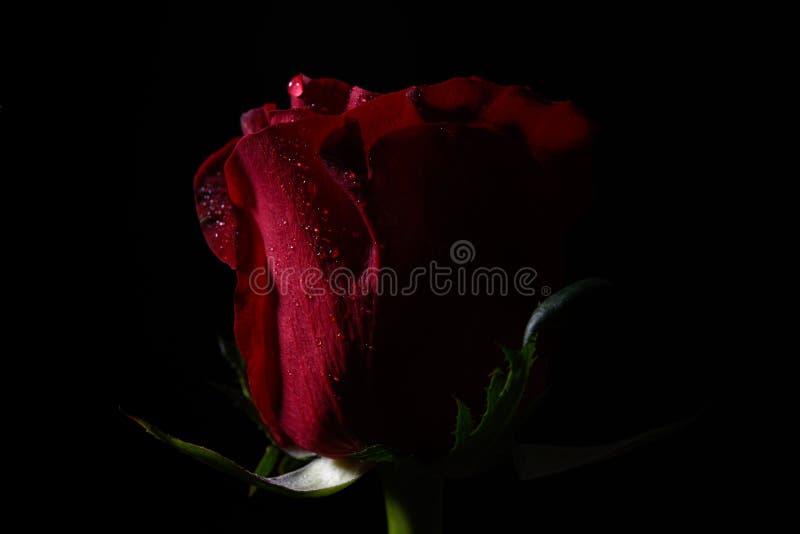 关闭与剧烈的照明设备的红色玫瑰在黑背景 图库摄影
