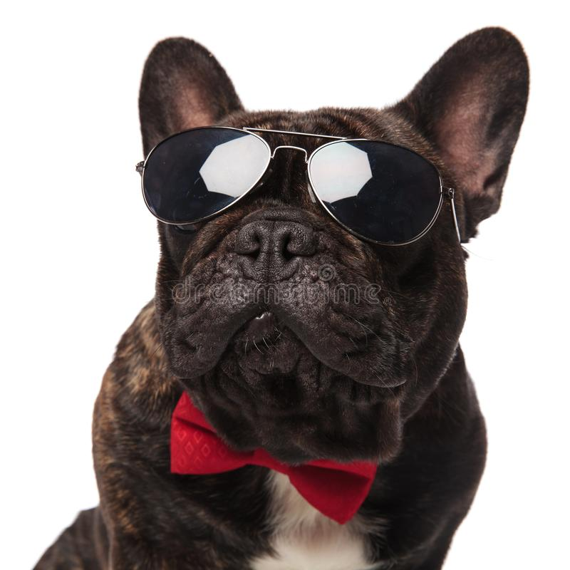 关闭与查寻的太阳镜的典雅的法国牛头犬 库存照片