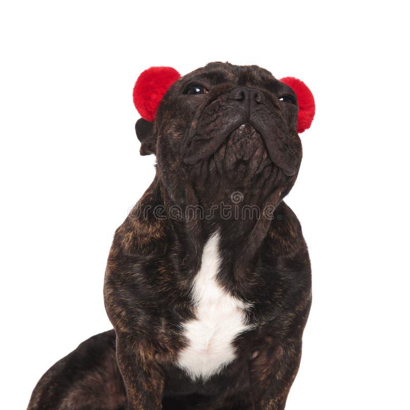 关闭与查寻的御寒耳罩的供以座位的法国牛头犬 库存图片
