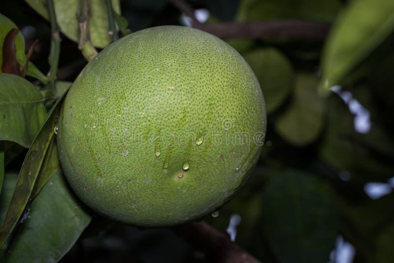 关闭与树的未成熟的绿色葡萄柚 免版税库存图片