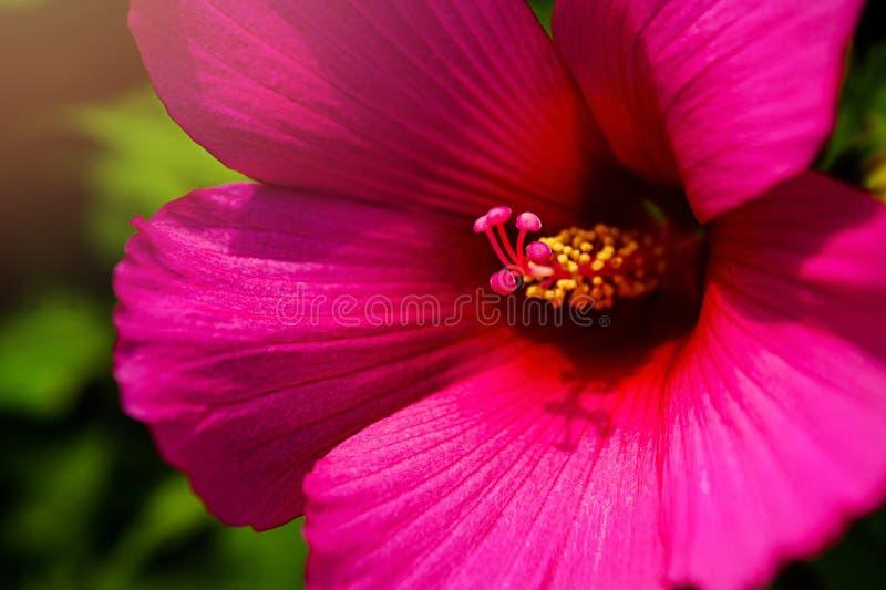 关闭与桃红色瓣和黄色心脏的桃红色花背景的或构造 库存图片