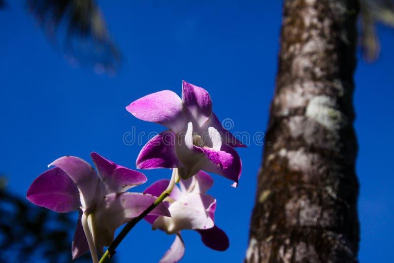 关闭与棕榈树被弄脏的树干的桃红色和白色石斛兰属兰花反对天空蔚蓝,清迈,泰国 免版税图库摄影