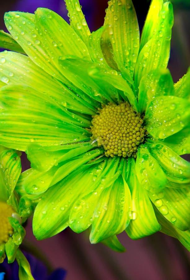 关闭与水下落的一朵室外柠檬绿雏菊在瓣 免版税库存照片