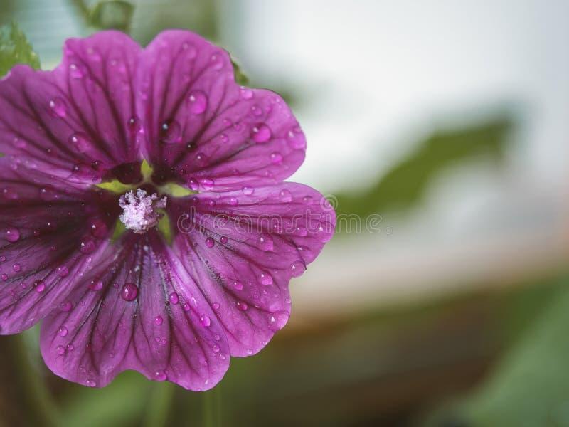 关闭与水下落的桃红色开花的花 免版税图库摄影