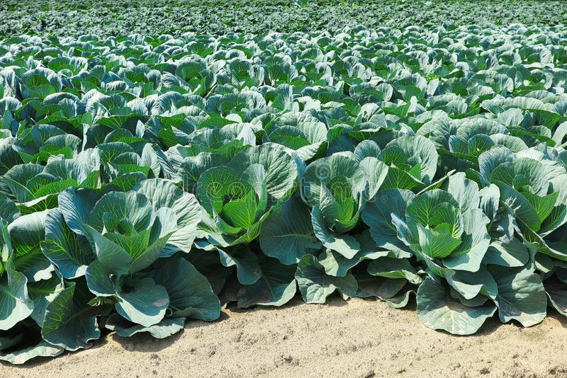 关闭与白椰菜植物的领域-荷兰,芬洛 免版税库存图片