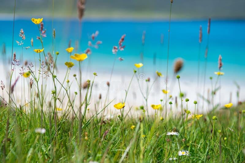 关闭与白色沙滩、绿松石水和一个海岛的春天花在背景, Luskentyre,哈里斯小岛中,他 免版税图库摄影