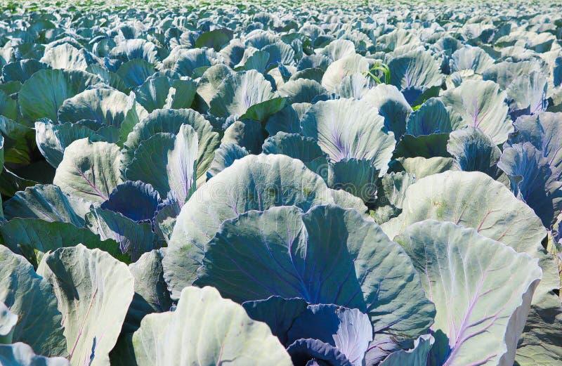 关闭与红叶卷心菜植物的领域-荷兰,芬洛 免版税库存图片