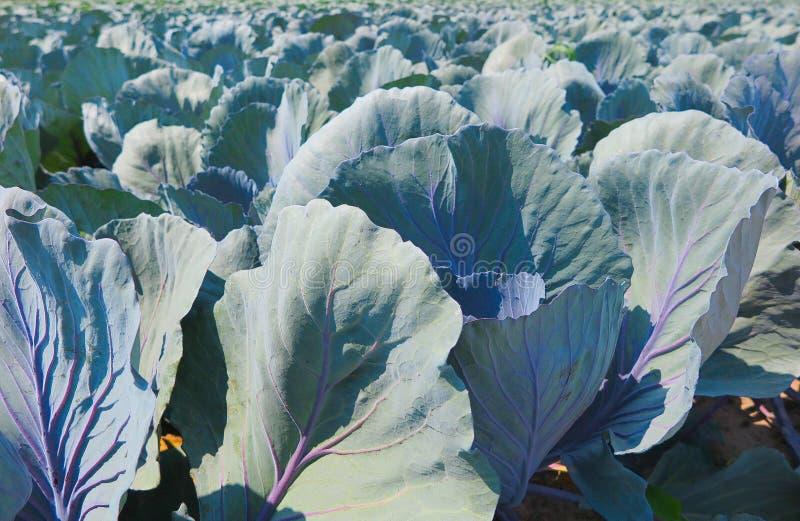 关闭与红叶卷心菜植物的领域-荷兰,芬洛 免版税库存照片