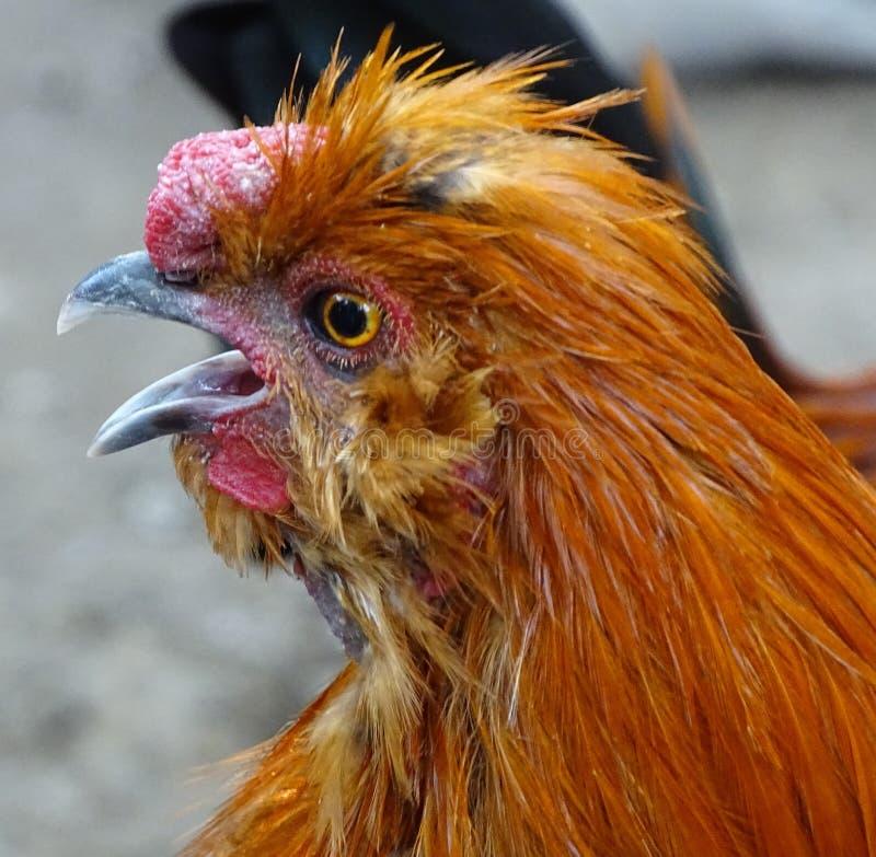 关闭与红色鸡,家养的禽畜怂恿 图库摄影