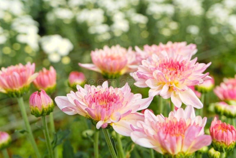 关闭与绿色叶子的美丽的开花的桃红色菊花花在庭院里 图库摄影