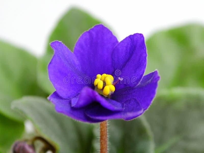 关闭与绿色叶子的非洲紫罗兰紫色花非洲堇在白色 库存图片