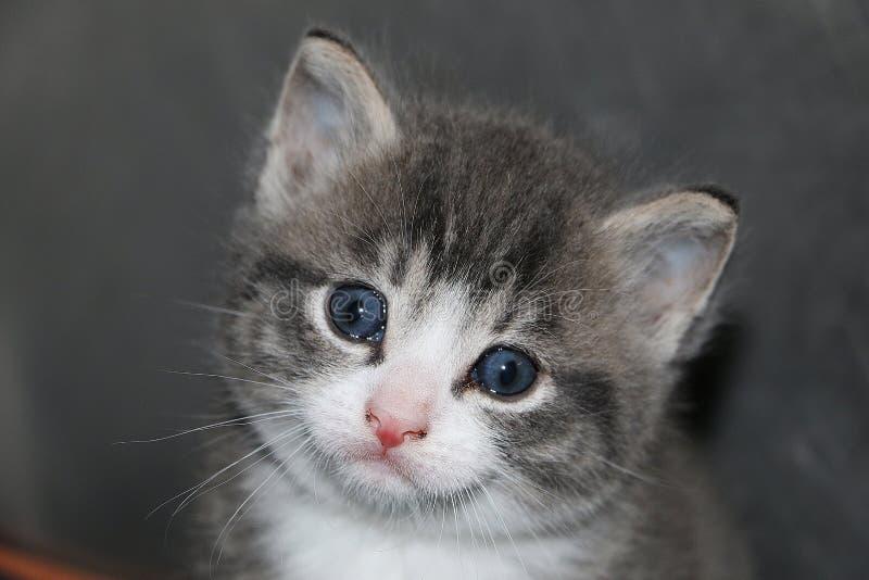 关闭与美丽的蓝眼睛的一美好的灰色小猫头像 图库摄影
