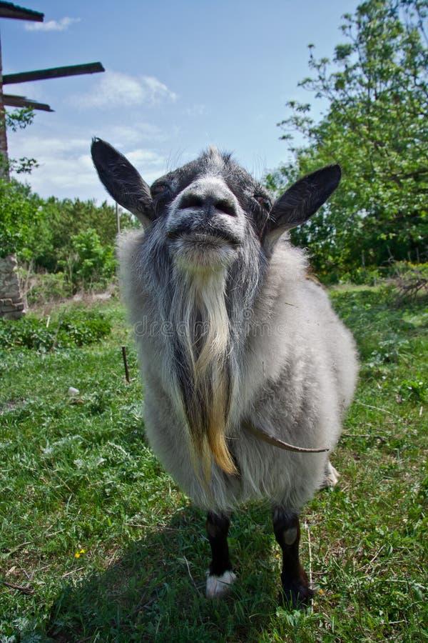 关闭与胡子的时髦的滑稽的毛皮山羊在绿色自然本底 免版税库存图片