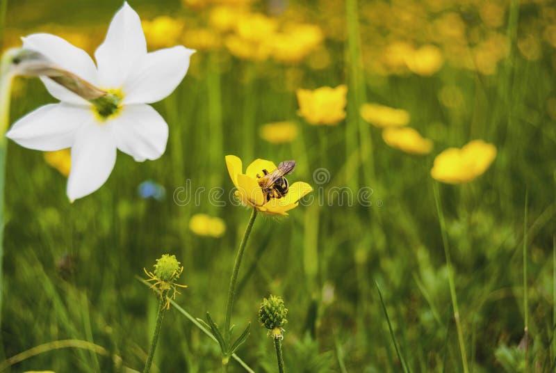关闭与蜂的黄色,橙色花 免版税库存照片