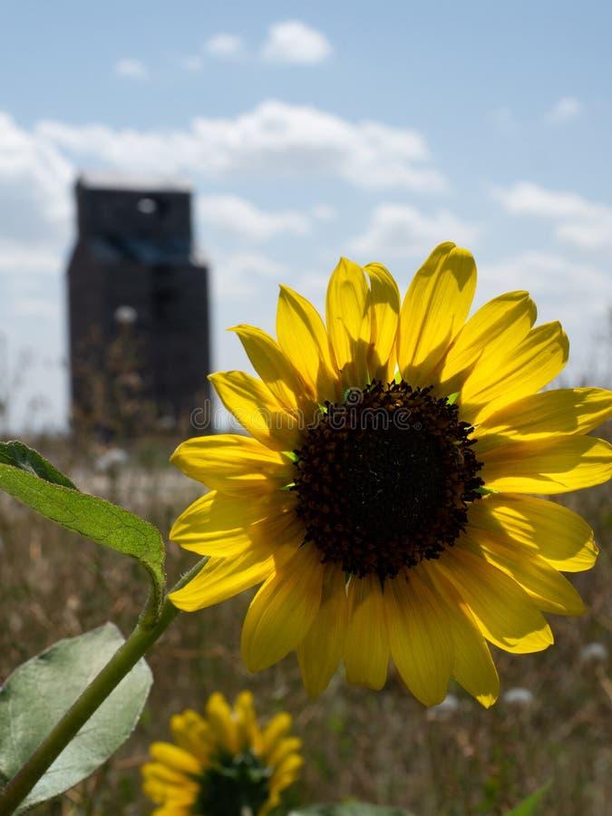 关闭与谷物仓库的一个由后面照的黄色向日葵 图库摄影