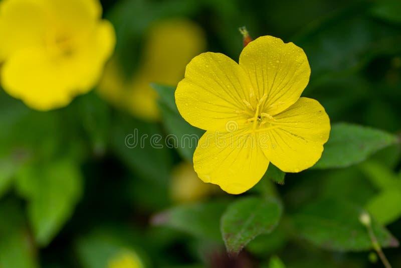 关闭与雨下落的黄色花在软的焦点 库存图片
