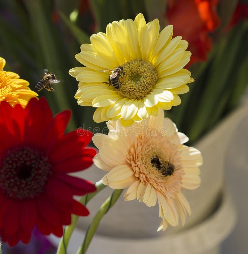 关闭与飞行蜂蜜蜂的黄色红色和桃红色gerber雏菊 库存图片