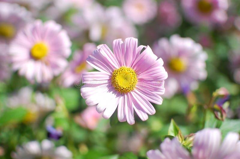 关闭与黄色核心的浅粉红色的花在绿色被弄脏的背景 日母亲s 妇女` s da 免版税图库摄影