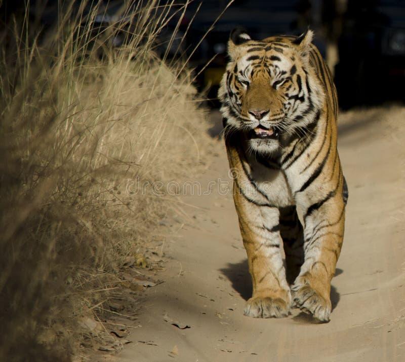 关闭与他的闭上的公孟加拉老虎 免版税库存图片