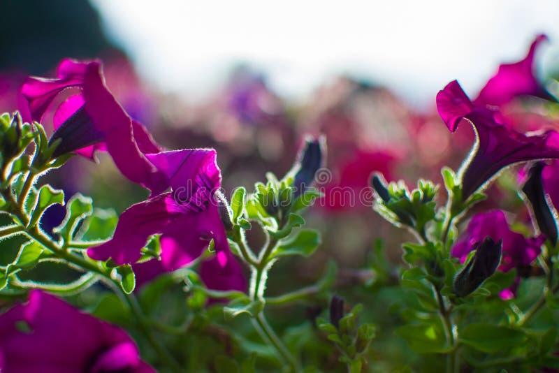 关闭与defocused太阳光芒的紫色花在背景 免版税图库摄影