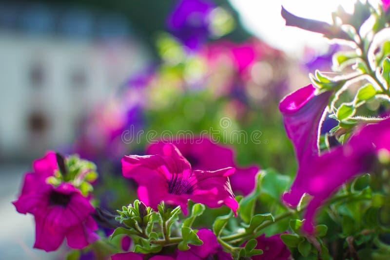 关闭与defocused太阳光芒的紫色花在背景 免版税库存图片