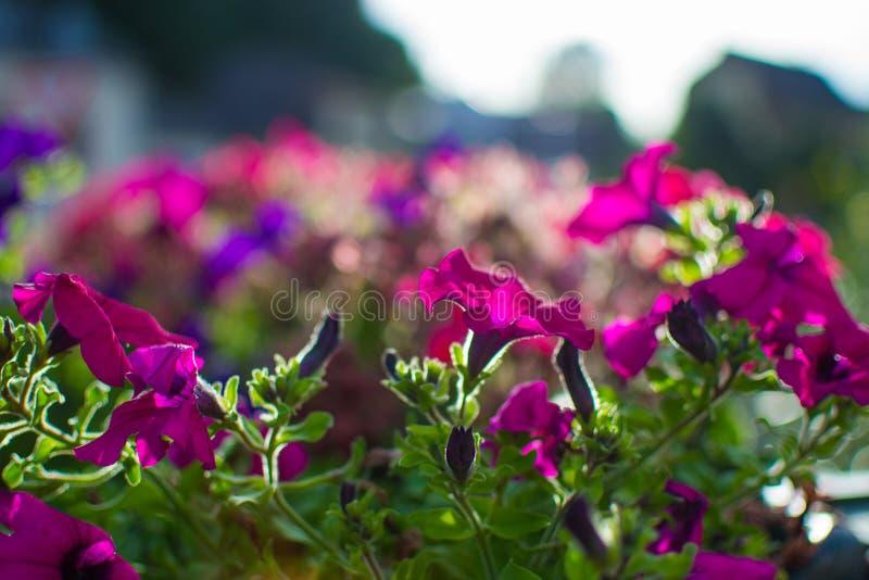 关闭与defocused太阳光芒的紫色花在背景 库存图片