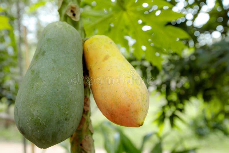 关闭两个番木瓜,thr unrip番木瓜是绿色,并且裂口番木瓜是黄色的,垂悬在番木瓜 库存图片