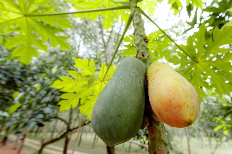 关闭两个番木瓜,unrip番木瓜是绿色,并且裂口番木瓜是黄色的,垂悬在番木瓜 免版税库存图片