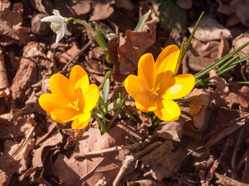 关闭两在森林地板- ora上的橙色小春天花 库存照片