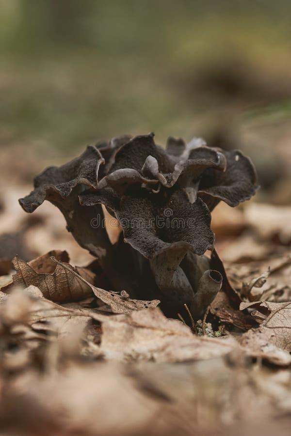 关闭丰足蘑菇在森林的Craterellus cornucopioides可食的垫铁  库存照片