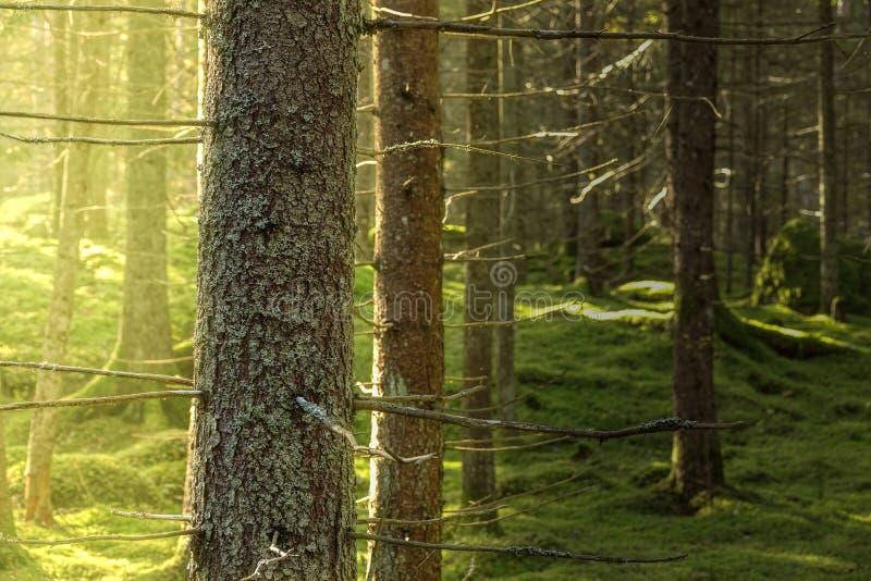 关闭云杉在绿色生苔森林里 库存图片
