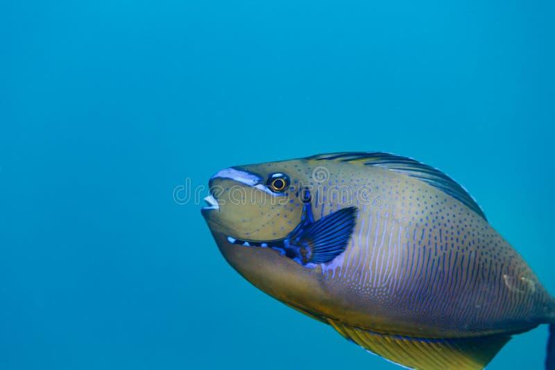 关闭五颜六色的与黄色聚焦的鱼蓝色有鳍的银色边的边 免版税库存图片