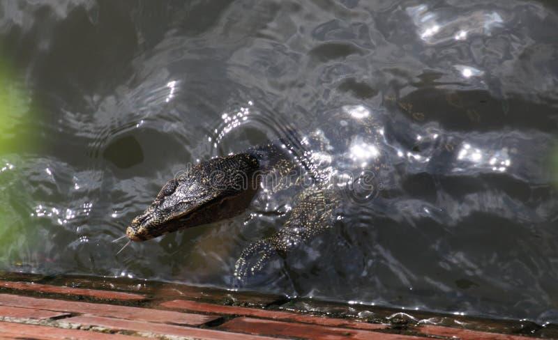 关闭亚洲水监控器蜥蜴巨晰属salvator游泳在显示splitted舌头,泰国的曼谷河 免版税库存图片