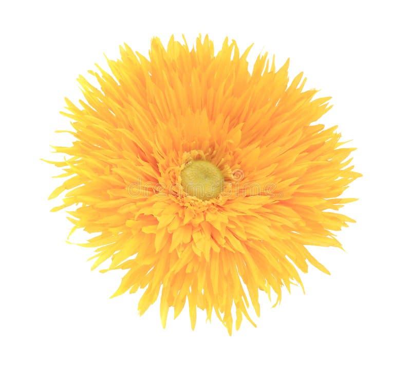 关闭人为黄色花翠菊。 免版税图库摄影