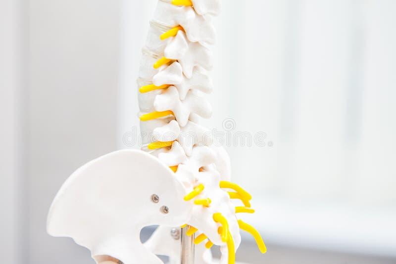 关闭人的腰部脊椎骨骼模型 诊所,教育概念 选择聚焦 文本的空间 免版税库存图片