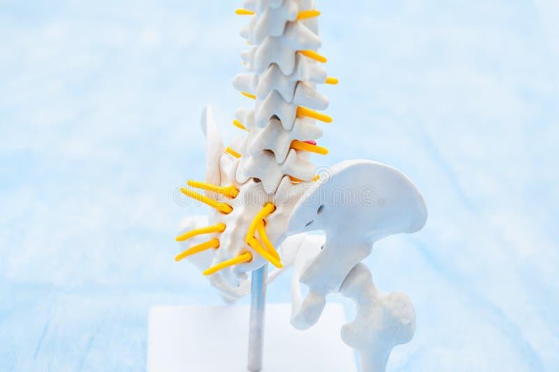 关闭人的骨盆骨骼模型 诊所,教育概念 选择聚焦 文本的空间 库存图片