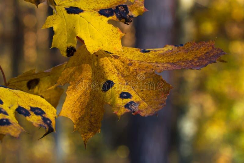 关闭从臭虫或病毒的黄色枫叶在庭院、植物病和蚜虫,蝉里 植物昆虫大批出没 库存照片