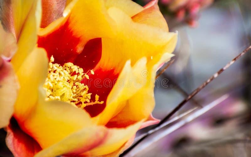 关闭仙人球仙人掌脆弱类的仙人掌花,加利福尼亚 免版税库存照片
