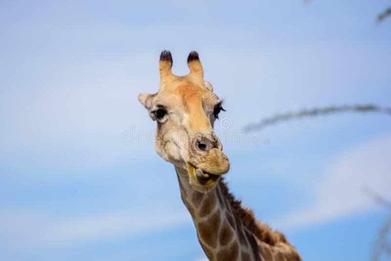 关闭做一张愉快和滑稽的面孔的长颈鹿` s头 库存照片