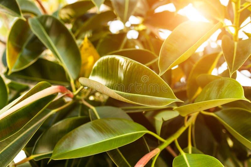 关闭充满活力的绿色榕属叶子vackground  库存图片