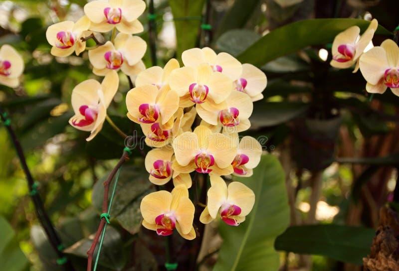 关闭兰花花束有自然本底,美丽的开花的兰花花在庭院里 免版税库存照片