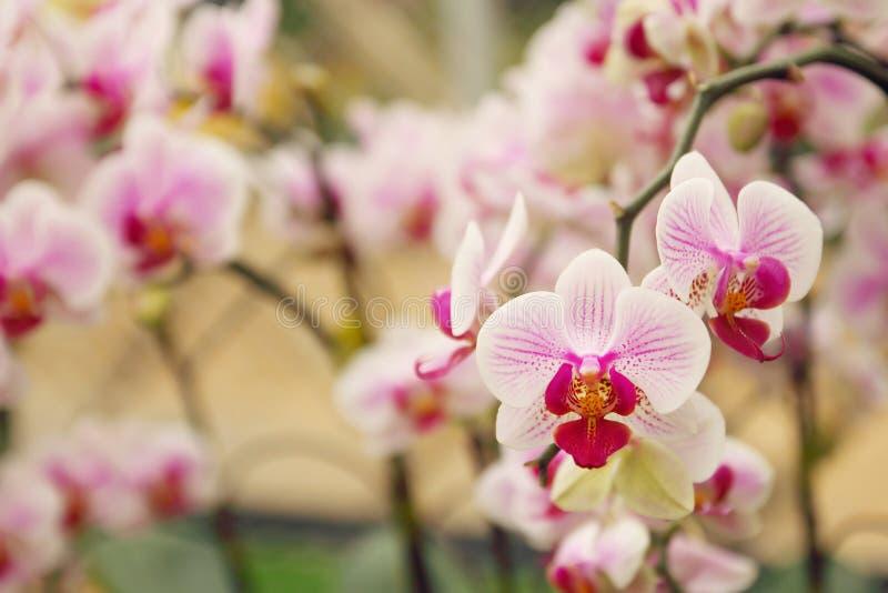 关闭兰花花束有自然本底,美丽的开花的兰花花在庭院里 免版税库存图片