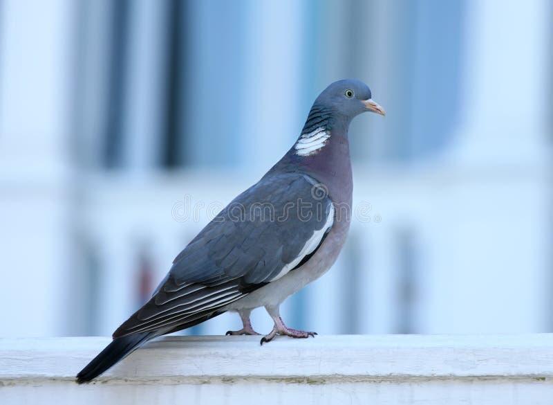 关闭共同的斑尾林鸽的画象 免版税图库摄影
